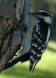 Downy Woodpecker, Thomson Park, Scarborough