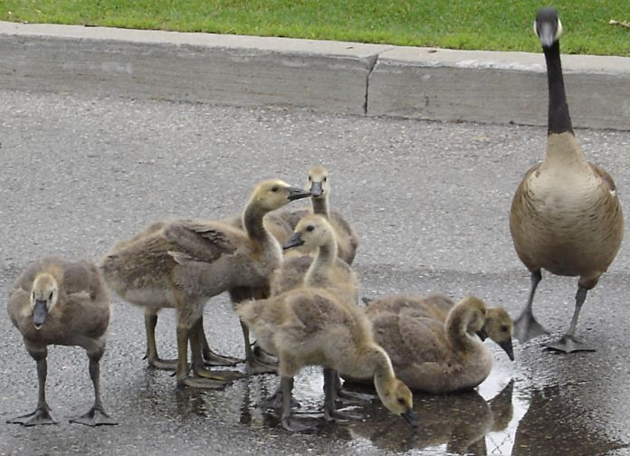 Goslings making the most of any water at Kennedy Commons