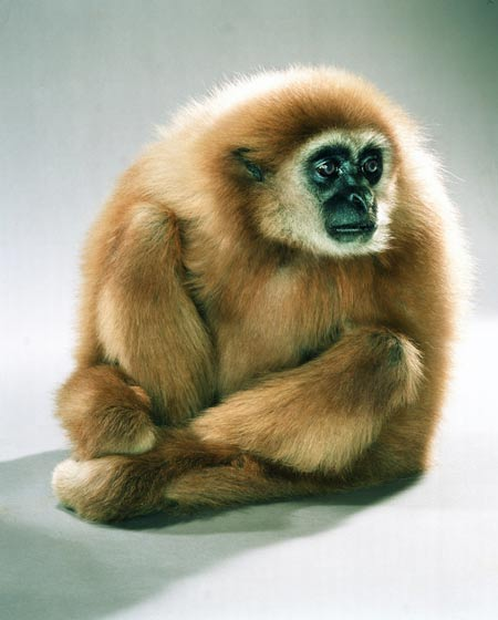 jill_greenberg-gabe_the_gibbon.jpg