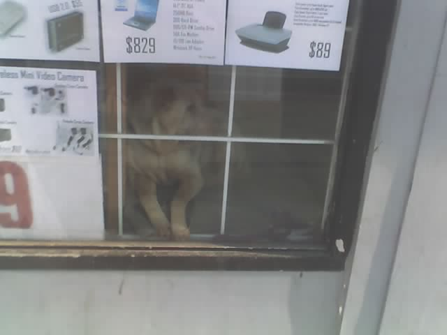 shar-pei in College St computer store window