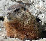 Groundhog on Warden Ave, Markham