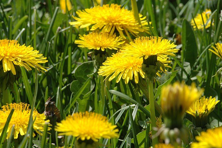 dandelions, lots of them