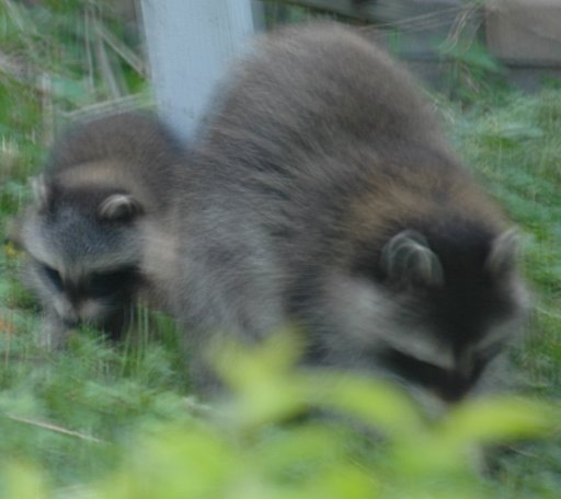 mom and baby raccoon