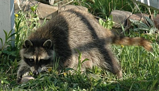 mom raccoon