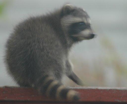wee raccoon