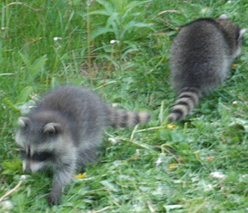 wee raccoons