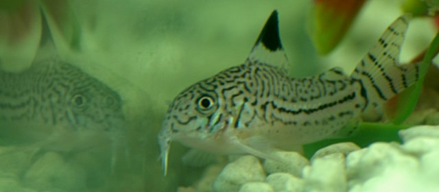 leopard corydoras, and reflection