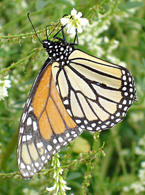 monarch butterfly - spotty!