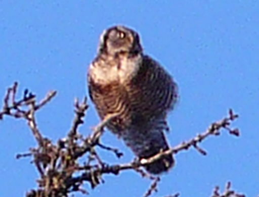 hawkowl.jpg