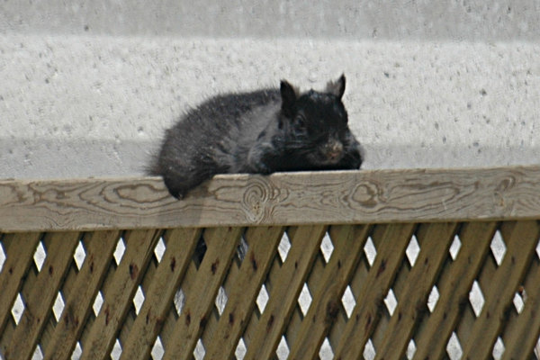 snoozing squirrel
