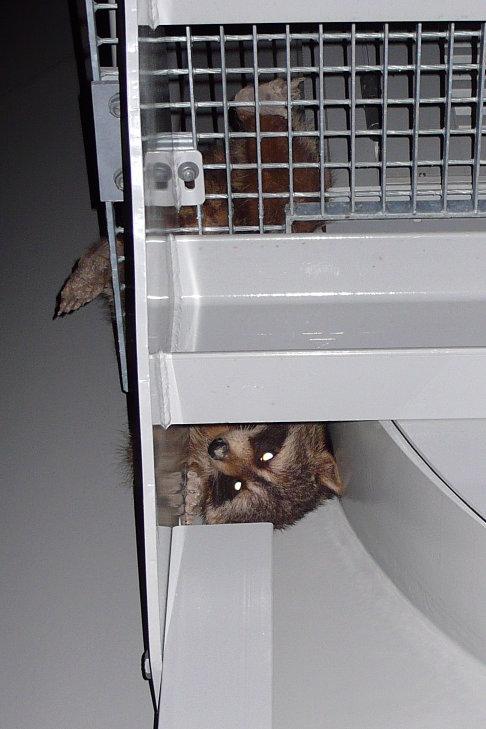 racoon at ripley