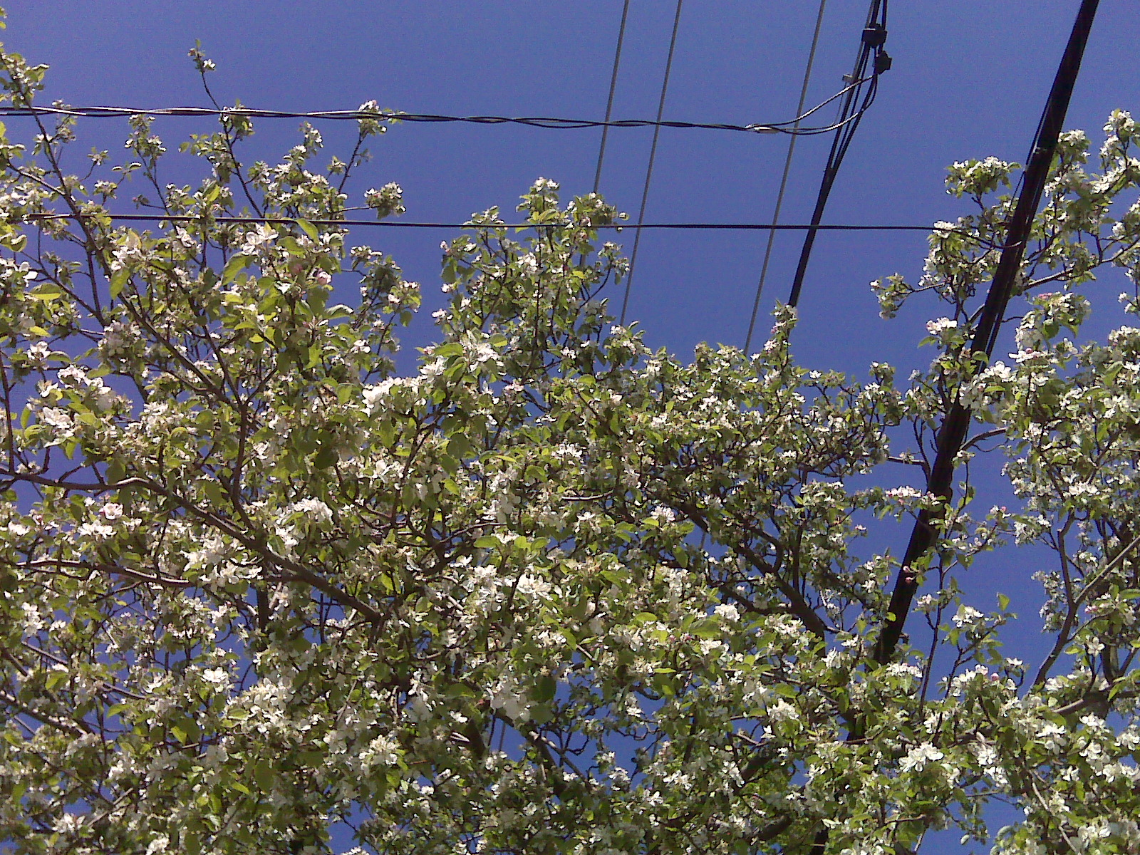 blossom and wires