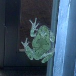 One of the loud tree frogs in Olivet, MI