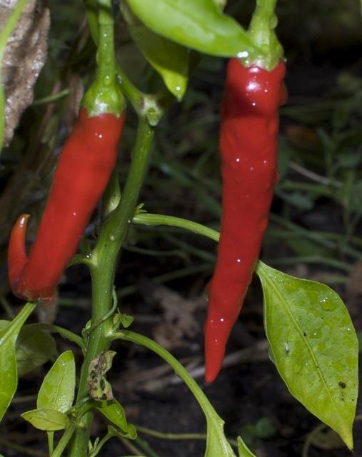 garden chilis after rain
