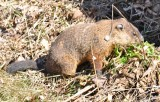 groundhog in our garden