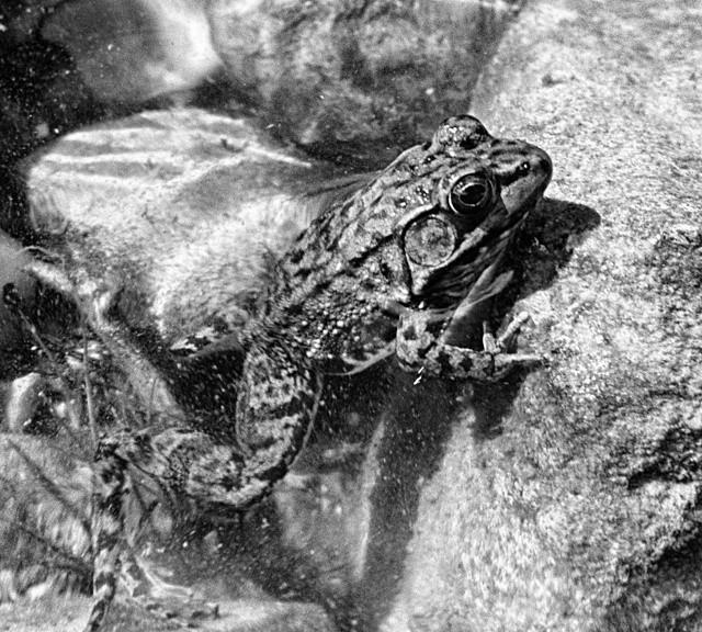 Guard Frog at Flack Lake