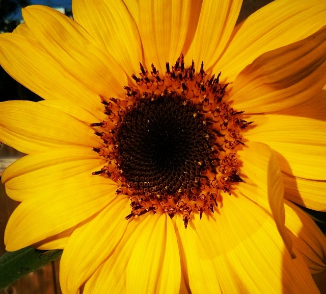 Today in Sunflowers ...