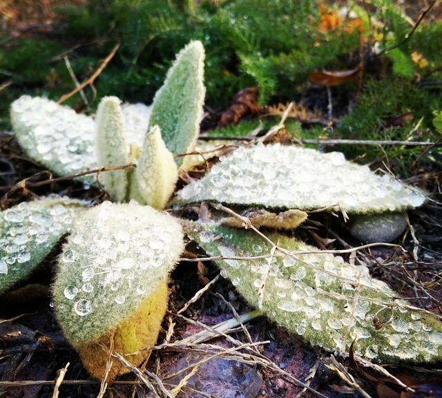 Frosty lugs