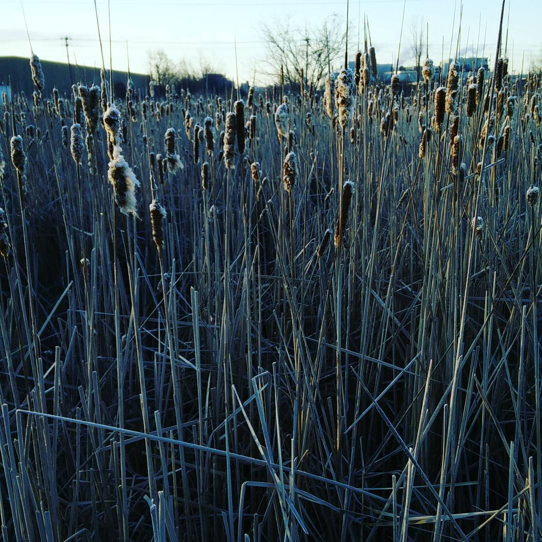Frosty Rushes (Redwing Disturber)