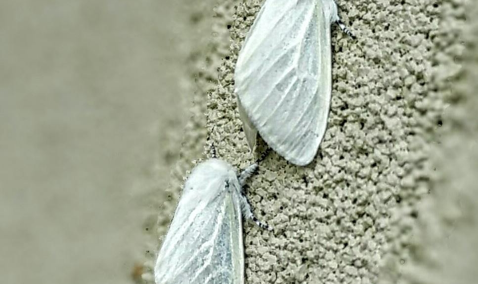 Fuzzy moths are snoozing