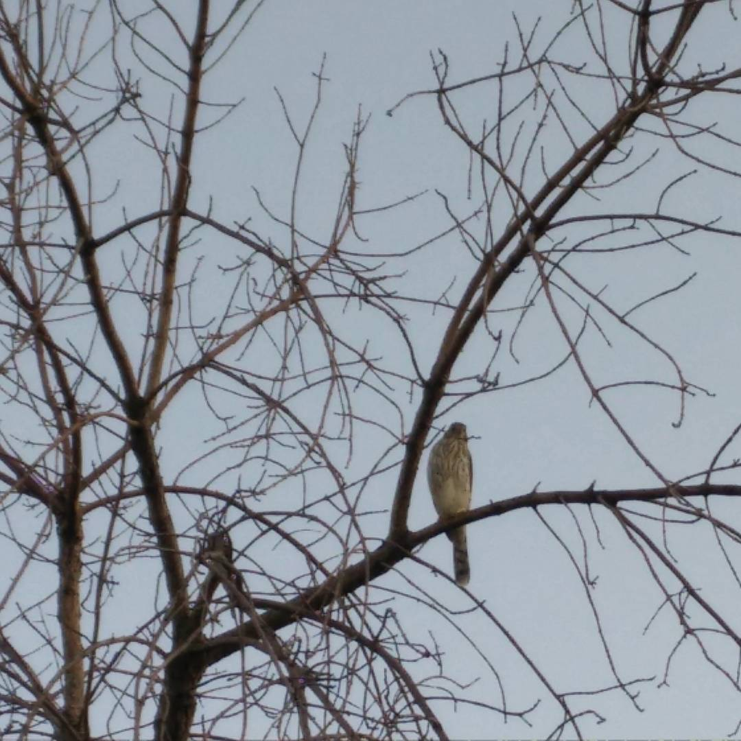 This one was vexing the waxwings