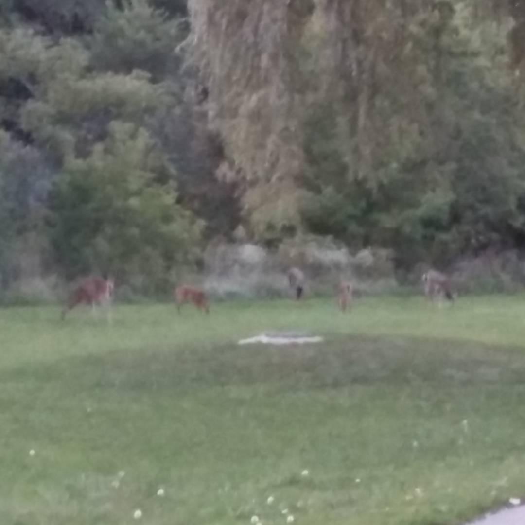 crepuscular grazers #deer #blurry