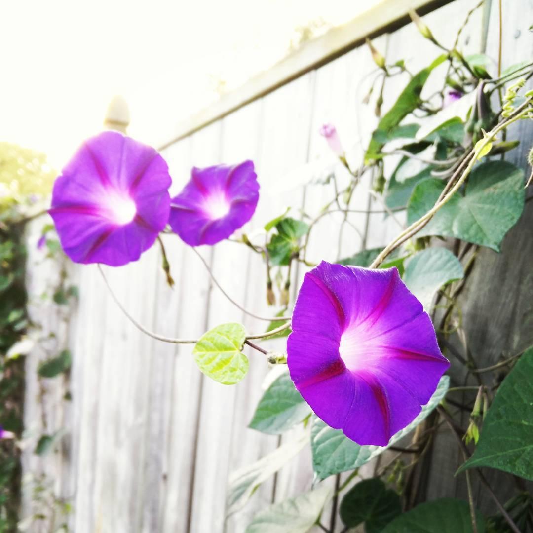 morningflowers