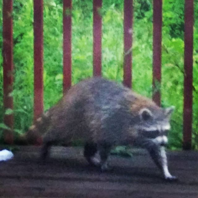 moist raccoon