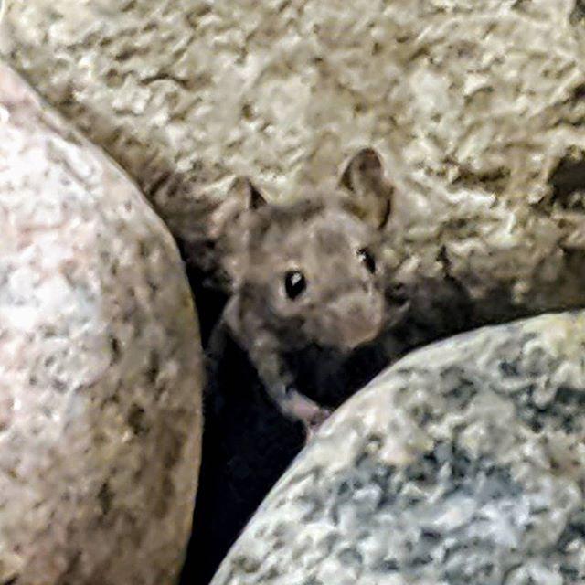 mouselet