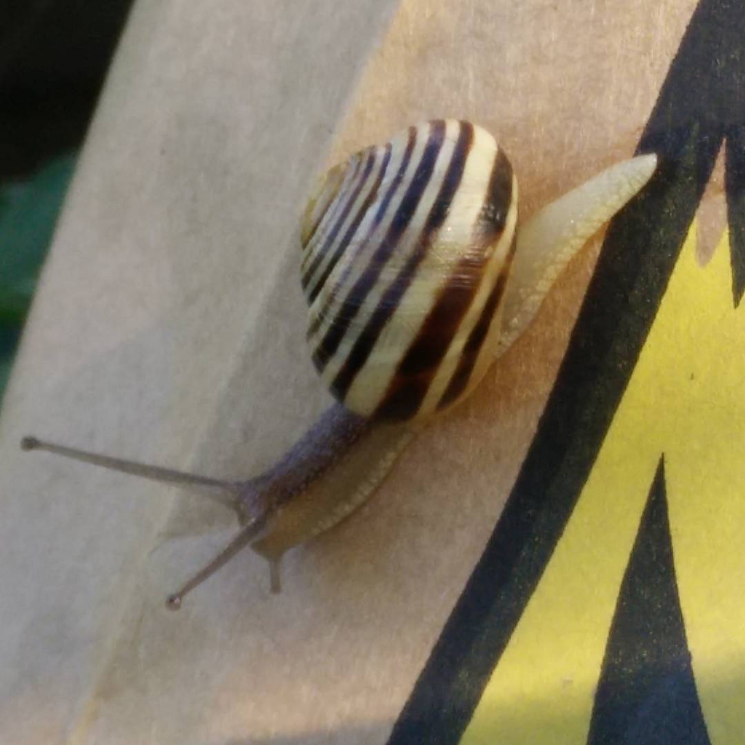 Snail on a (Giant) Tiger Tail