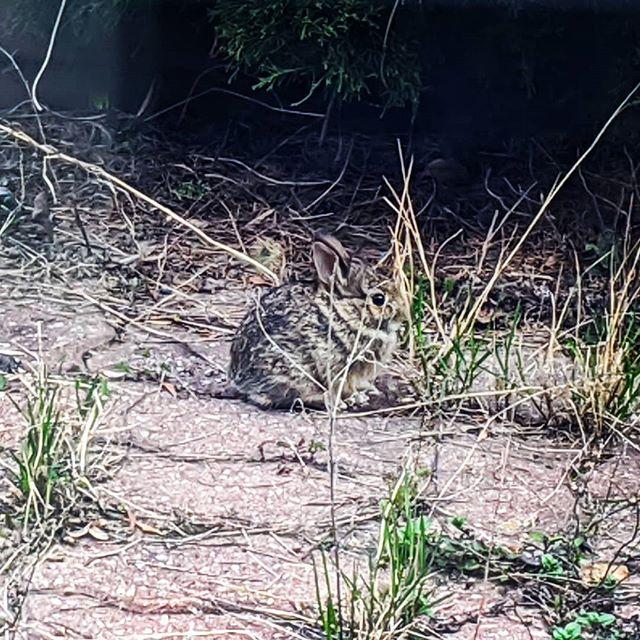 We have baby bunnies in the garden! #squee